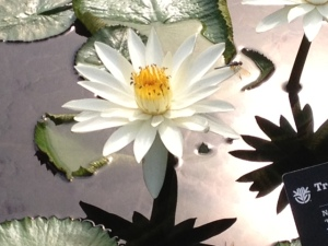 White lotus with black shadows