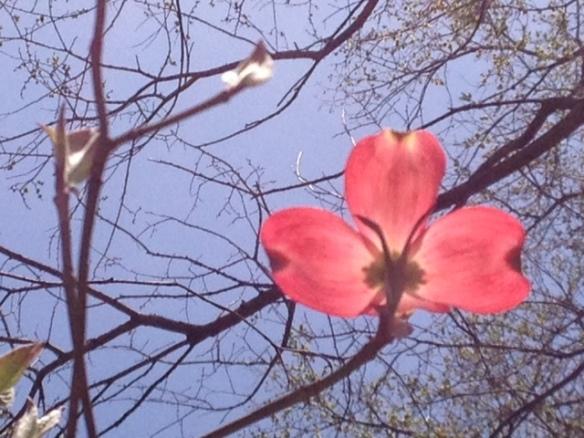 Pink dogwood solo blossom
