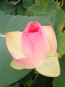 Opening of Pink Lotus
